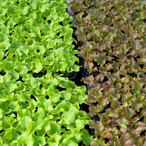 Salat - Jungpflanzen
