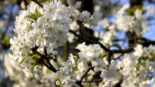 Spring blossom of cherry
