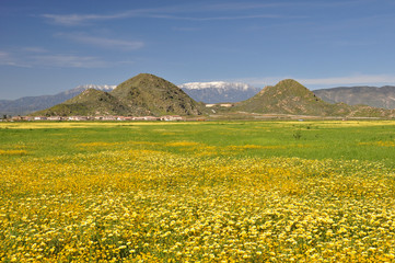Hemet flower field
