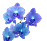 Fototapety Blue orchid