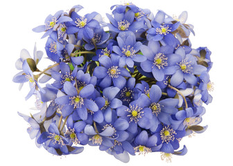 Bush of real first european springs flowers isolated