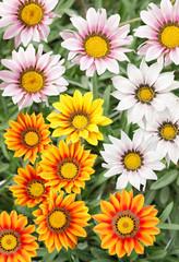 Colourful Gazania flowers