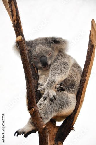 Keuken foto achterwand Koala Koala
