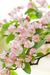 Pink and white Crab apple tree blossom in spring