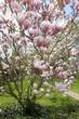 blühende Magnolie im Garten