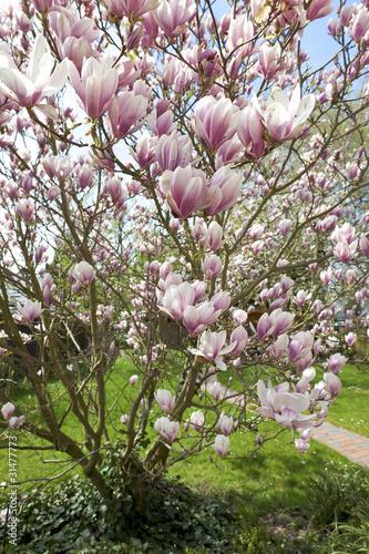 Aluminium Magnolia blühende Magnolie im Garten