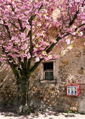 Kirschblüte, Blütenmeer