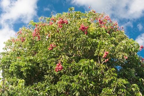 litchi arbre fruitier tropical photo libre de droits sur la banque d 39 images. Black Bedroom Furniture Sets. Home Design Ideas