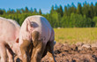 Back of a pig in Dalarna, Sweden