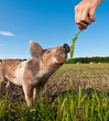 A pigfarm in Dalarna, Sweden