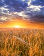 sunset in a wheat fields