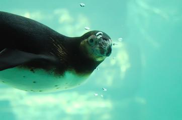 pingouin sous l'eau