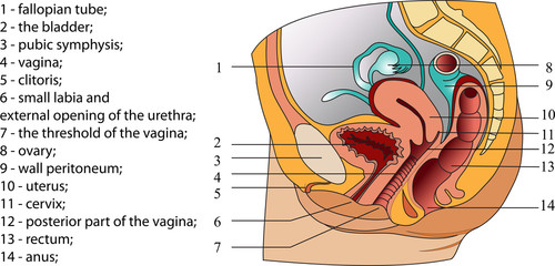Female reproductive system (poster)