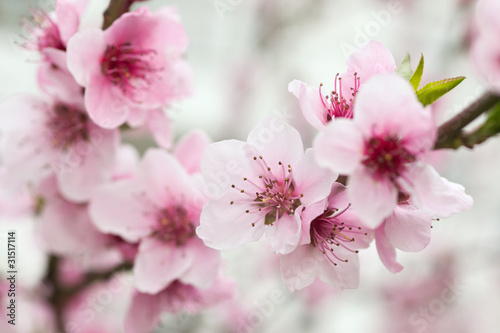 Plexiglas Kersen Blooming tree in spring with pink flowers