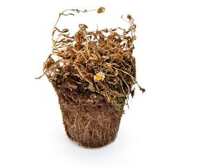 Tiesto con planta seca