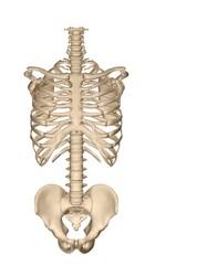 human torso skeletal system (front)