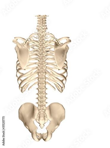 human torso skeletal system (back)