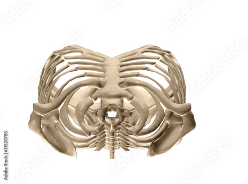human torso skeletal system (top view)