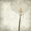 textured old paper background with single white calla lily