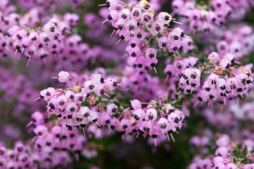 flower(Erica)_03