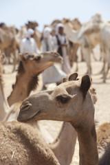 Dromedary camels at a market