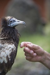 EgyptianVulture(NeophronPercnopterus)Person'sHand,Pokhara,Nepal