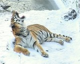 tiger lying on the snow cold winter