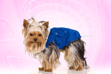 Little dog on pink background - Yorkshire Terrier dressed in blu
