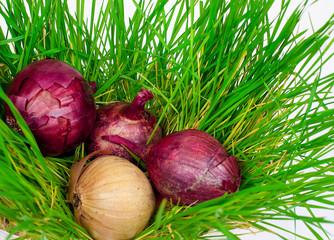 Repchetyj onions