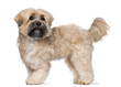 Shih Tzu, 2 years old, standing in front of white background