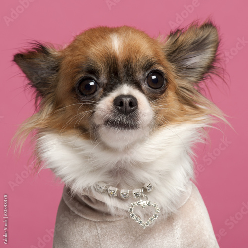 Poster Close-up of Chihuahua, 2 years old, with diamond collar