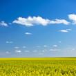 Gelber Raps unter blauem Himmel