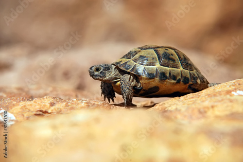 Crawling tortoise over blurred background