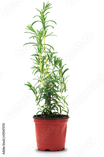Condiment, plante de romarin en pot - Rosmarinus officinalis