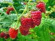 raspberry plantation