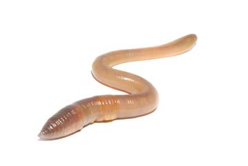 worm on white