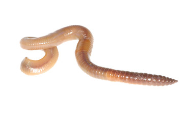 earthworm on white