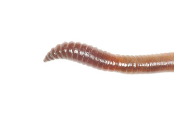 worm on white