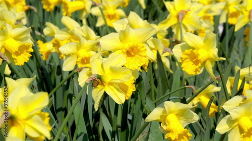 daffodil flowers swaying in the wind