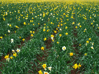 Daffodil crop