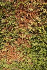 Leylandii aphid damage