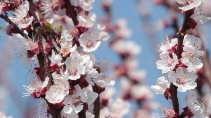 pink cherry blossom blowing in the wind