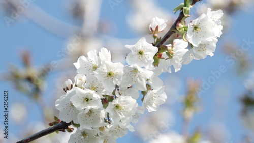 white cherry blossom blowing in the wind