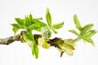 Zweig und frische Blätter einer Rosskastanie