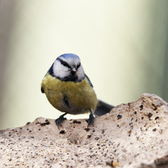 Blue tit on chaga musgroom