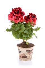 Potted plant pelargonium in a pot