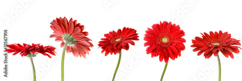 Papiers peints Gerbera Set of five gerbers