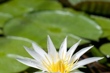 白い熱帯睡蓮の花