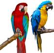 Постер, плакат: Ara Parrots