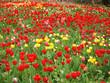Riesiges Tulpenmeer